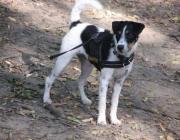 Parson Jack Russell Terrier - Der Parson Russell und Jack Russell Terrier, zwei Rassen mit einer Vergangenheit. Definiert wird die Rassezugehörigkeit vor allem durch die unterschiedliche  Schulterhöhe und die daraus resultierenden unterschiedlichen Propotionen.