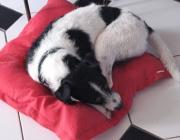 Parson Jack Russell Terrier - Ursprünglich als reine Bau- bzw. Jagdhunde verwendet, finden sich mittlerweile  Parson und Jack Russell Terrier im Agility, dem Rettungshundewesen, als Therapiehunde, ...
