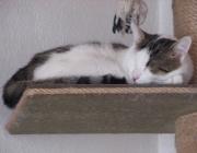 Europäisch Kurzhaar Katze - Die Europäisch Kurzhaar ist sehr intelligent. Sie ist zunächst eher still und zurückhaltend, kann sich aber sehr öffnen, wenn sie Vertrauen gefunden hat.