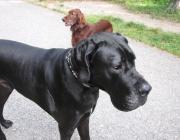 Deutsche Dogge - Kindern gegenüber ist sie immer aufgeschlossen und ein guter Gefährte.