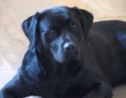 Labrador Retriever - Mit seinem freundlichen und belastbaren Wesen, seiner Kooperationsbereitschaft und seiner fast selbstaufopfernden Begeisterung für Kinder ist der Labrador Retriever der perfekte Familienhund.
