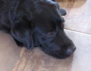 Labrador Retriever - Ein weiterer Pluspunkt dieser Rasse: Labradore sind keine Kläffer. Auch wenn sie draußen gerne toben, in den eigenen vier Wänden zeigen sie sich als äußerst ruhige Zeitgenossen.