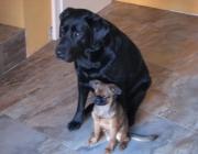 Hundebetreuung.co.at - Labrador Retriever / Zwerggriffon