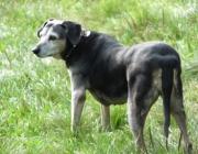 Hunde - Der Haushund (Canis lupus familiaris) ist ein Haustier und wird als Heim- und Nutztier gehalten.