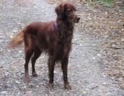 Irish Setter - Der Irish Setter ist ein athletischer Hund, der eher durchtrainiert wirkt als kräftig und muskulös. Er ist freundlich im Ausdruck, interessiert, intelligent und voller Tatendrang.