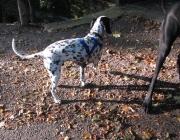 Dalmatiner - Erste Abbildungen von dalmatinerähnlichen Hunden gibt es schon in ägyptischen Pharaonengräbern.