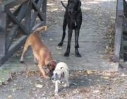 Haushunde - Alle heute bekannten Rassen stammen von regionalen Wolfsrassen ab und sind ursprünglich Funktionsrassen, also Jagdhunde und Wachhunde gewesen.