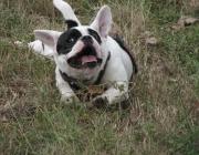 Französische Bulldogge - Die Französische Bulldogge wird von der englischen Bulldog alten Typs hergeleitet, die unter anderem zum Bullbaiting und in Hundekämpfen verwendet wurden.