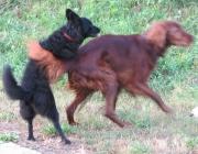 Hundeverhalten - Die Fähigkeit zur körpersprachlichen Kommunikation ist genetisch fixiert. Alle Hunderassen verwenden die gleichen Beruhigungs- und auch Drohsignale.