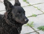 Mudi - Lernen macht ihm großen Spaß. Wie alle Hütehunde eignet sich der Mudi hervorragend für sämtliche Hundesportarten.