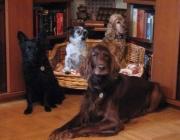 Hundegruppe - Jack Russell Terrier / Cocker Spaniel / Mudi / Irish Red Setter