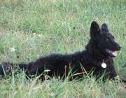 Mudi - Er ist ein schön proportionierter Hund, stehohrig, mit mehr oder weniger stark gewelltem oder gelocktem Haar.