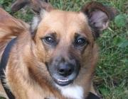 Canidae (Hunde) - Als generell ähnliche Verhaltensmuster bei allen Caniden beschreibt Michael W. Fox die Einleitung sozialer Begegnungen durch gegenseitige Untersuchung von Genital- und Analzone sowie teilweise auch von Ohren, Maul und Analdrüse.