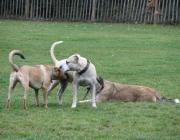 Canidae (Hundeartige) - Sie jagen sowohl im Rudel als auch als Einzelgänger.