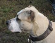 American Pitbull Terrier - Der American Pitbull Terrier verfügt über ausgezeichnete körperliche und mentale Charakteristika, die ihn zu einem exzellenten Partner für verantwortungsbewusste, aktive und liebevolle Halter machen.