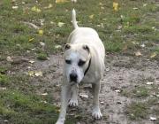 American Pit Bull Terrier - Der Pitbull zählt mit einer Rückenhöhe von bis zu 56 cm zu den mittelgroßen Hunden.