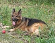 German Shepherd Dog - Der Deutsche Schäferhund ist eine der über die ganze Welt am verbreitetsten und anerkannten Hunderassen.