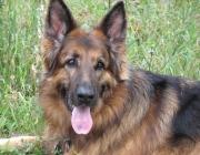 German Shepherd Dog - In nahezu allen Ländern dieser Erde ist die Rasse bekannt, wird auf Grund ihrer Intelligenz, leichten Ausbildungsfähigkeit, Anpassungsfähigkeit und Schneid hoch geschätzt.