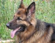 German Shepherd Dog - Rittmeister Max von Stephanitz, anerkannt als