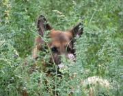 German Shepherd Dog - Ein Schäferhund ist bereit, bis zur Aufopferung seines eigenen Lebens, alles für den, den er liebt, zu tun. Die Rasse betet die eigenen Familienmitglieder an, ist von Natur aus zuverlässiger Schutz von Mensch und Eigentum.