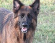 Belgischer Schäferhund - Groenendael, langhaarig, schwarz / Laekenois, rauhaarig / Malinois, kurzhaarig / Tervueren, langhaarig, rotbraun, falb, schwarz gewolkt.