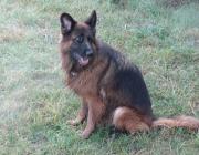 Belgischer Schäferhund - Der bekannteste unter den Belgischen Schäferhunden, zumindest in Europa, ist der kurzhaarige Malinois. Er ist ein begehrter und ausgezeichneter Arbeits- und Sporthund und mit seinem schlichten Erscheinungsbild ist er dennoch sehr elegant.
