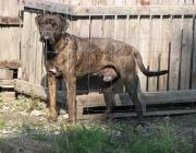 Bullmastiff - Er entstand aus einer Kreuzung zwischen Mastiff und English Bulldog und wurde als Schutzhund für Wildhüter gezüchtet.