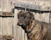 Bullmastiff - Große breitmäulige Hunde kamen bereits in den Schriften der alten Römer vor, man nimmt an, daß es sich dabei um den Mastiff handelte.