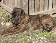 Bullmastiff - Zur Herkunft dieser erst 1924 durch den englischen Kennel-Club anerkannten Rasse muß uns bewußt sein, daß früher hinter der Praxis der Hundezucht in erster Linie der Gebrauchswert eines Hundes stand.