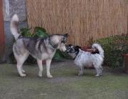 Husky - Jack Russell Terrier