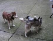 Siberian Husky - sie brauchen nicht sehr viel Platz, doch sie sollten sehr viel Bewegung/Auslauf bekommen