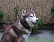 Siberian Husky - Der Siberian Husky ist immer noch die unbestritten schnellste, leichteste und kleinste aller anerkannten Schlittenhunderassen.