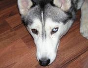 Siberian Husky - Eine kleine Schattenseite des Huskys ist das Graben. Das kommt von seinem Instinkt, ein Loch in den Boden zu graben, um beim Ruhen (z.B. in der schneebedeckten Tundra) warm zu bleiben.