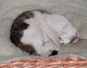 Katzenschlaf - Bei einem alarmierenden Geräusch kann eine schlafende Katze blitzschnell auf den Beinen und auch sofort ganz aufmerksam und reaktionsbereit sein.