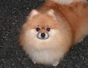 Pomaranian Puppies Mix - Der Kleinspitz gehört zur Rasse Deutsche Spitze. Der Kleinspitz ist ein fröhlicher, wachsamer und wetterfester Hund, ein guter Begleithund und hervorragender Zirkushund mit langen, weichen und lockeren Haaren in den Farben weiß, schwarz, braun, orange, andersfarbig.