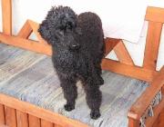 Pudel - Einige Großpudel sind sogar unter den Rettungs- und Blindenhunden vertreten.