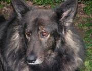 """Schäfermix - Der Mischlingshund (kurz nur """"Mischling"""" oder salopp """"Mix"""") ist das Kreuzungsergebnis von Hunden verschiedener Rassen."""
