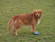 Hundeaugen - Ebenfalls auf der Rückseite des Auges befindet sich ein Bereich, der einfallendes Licht reflektiert und somit die Sehfähigkeit des Hundes im Dunkeln erhöht.