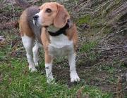 Beagle - Neben seinem Wesen und der Familienfreundlichkeit sind die Farben des Beagle die Hauptattraktion.