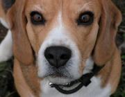 Beagle - Der Beagle ist ein Jagdhund, der ursprünglich in England als lauffreudiger Meutehund speziell für die selbstständige Treibjagd auf Feldhasen und Wildkaninchen gezüchtet wurde.