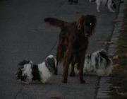 Hundegruppe - eine Gruppe, also willkürlich für mehr oder wenige kurze Zeit zusammengeführte Individuen.