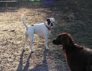 Hunde Gestik - Für die Verständigung über kurze Distanzen, nutzen Hunde dagegen mimische Signale und die Ausrichtung ihrer Ohren.