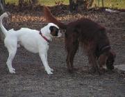 Hunde Gestik - Eine deutliche Art der Gestik besteht darin, die Körpergröße zu variieren.