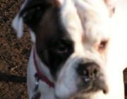 Hundegesicht - Im Gesicht hat der Hund Vibrissen, welche starrer als normale Körperhaare sind und zudem tiefer in die Haut reichen.