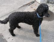 Pudel - Pudel sind aus Frankreich stammende Hunde, die für die Entenjagd gezüchtet wurden.