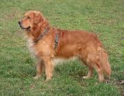 Hundegestik - Nicht einmal Menschenaffen besitzen diese Fähigkeiten wie Hunde. Die Fähigkeiten die Gestik des Menschen zu verstehen scheint bereits im Erbgut verankert zu sein.
