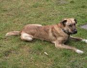 Karabash - Er ist ein verlässlicher Wächter und ausdauernder Kämpfer. Der Karabash ist im Umgang mit Herden ein geschickter Hund. Er wird als selbständig, stolz, intelligent, tapfer, kühn, hart, belastend und ausdauernd beschrieben.