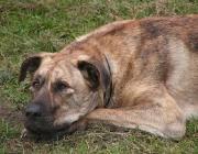 Kangal - Herdenschutzhund, ein Hund also, der die Herden selbstständig gegen Beutegreifer wie den Wolf verteidigt. Er verteidigt nicht nur, sondern gehört zur einzigen Hunderasse, die die Wölfe sogar aktiv bekämpft.
