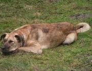 Kangal - Er kann mehrere Tage ohne Fressen ausharren und weicht dabei nie seiner Herde von der Seite. Diese Hunde sind extrem treue und zuverlässige Schutzhunde.