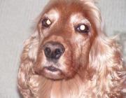 Blicke des Hundes - Die Sehschärfe wird beeinflußt durch die optischen Eigenschaften des Auges, wie die Größe der Pupille, Linse und Hornhaut. Auch die Anordnung der Zapfen und Stäbchen ist von entscheidender Bedeutung.